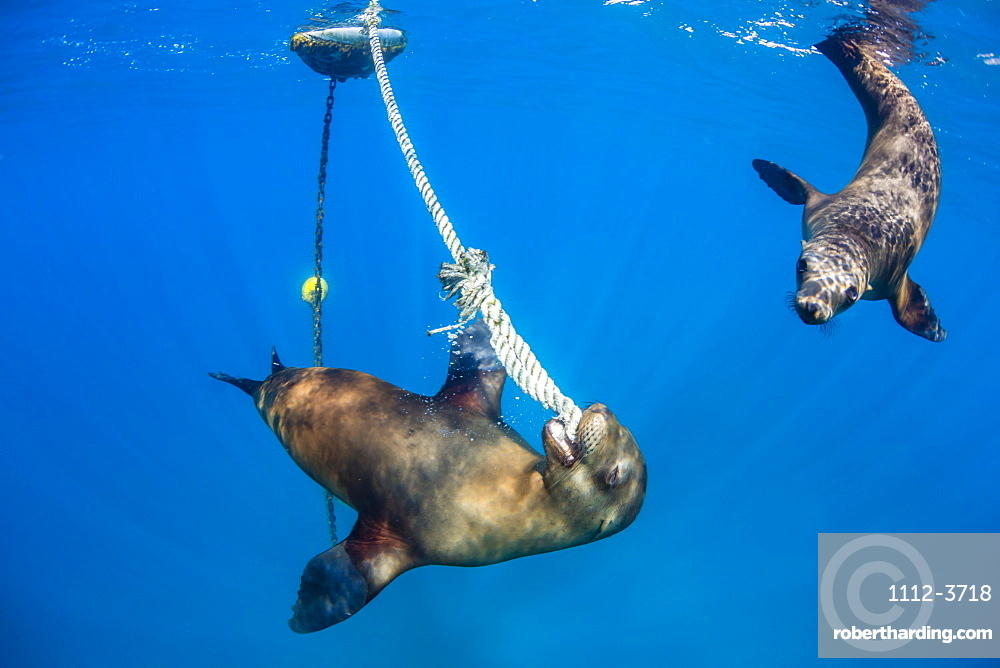 Playful California sea lions (Zalophus californianus), with mooring ball at Los Islotes, Baja California Sur, Mexico, North America