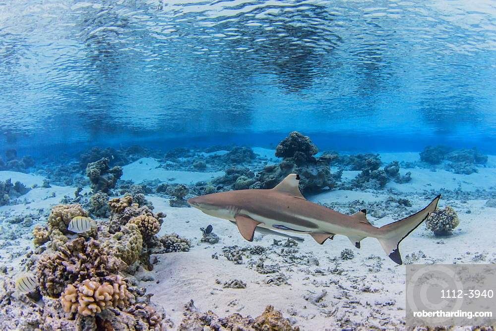 Adult blacktip reef shark (Carcharhinus melanopterus) underwater, Fakarava, French Polynesia, South Pacific, Pacific