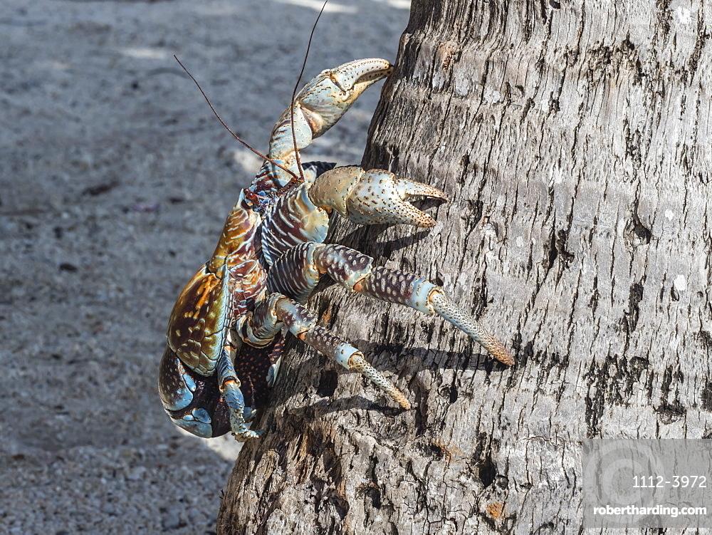 Adult coconut crab (Birgus latro) in the town of Tapana, Niau Atoll, Tuamotus, French Polynesia, South Pacific, Pacific