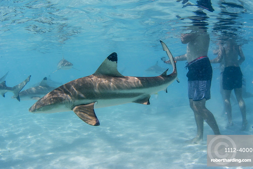 Blacktip reef sharks (Carcharhinus melanopterus) cruising near tourists at Stingray City, Moorea, Society Islands, French Polynesia, South Pacific, Pacific