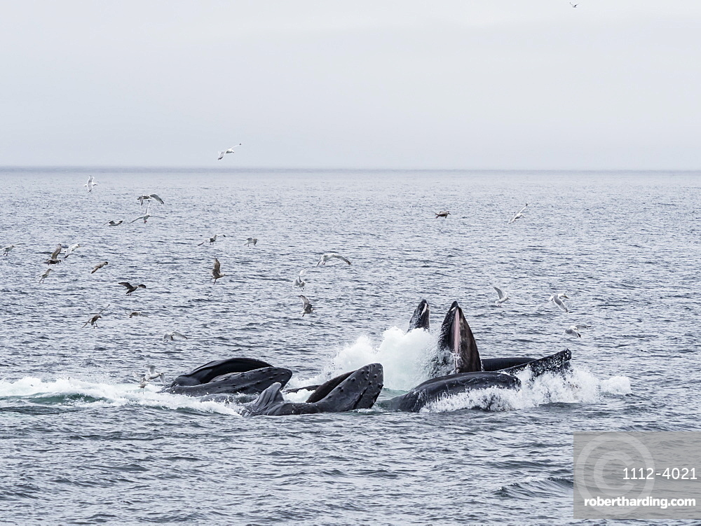 Humpback whales, Megaptera novaeangliae, cooperatively bubble-net feeding in Chatham Strait, Alaska, United States of America