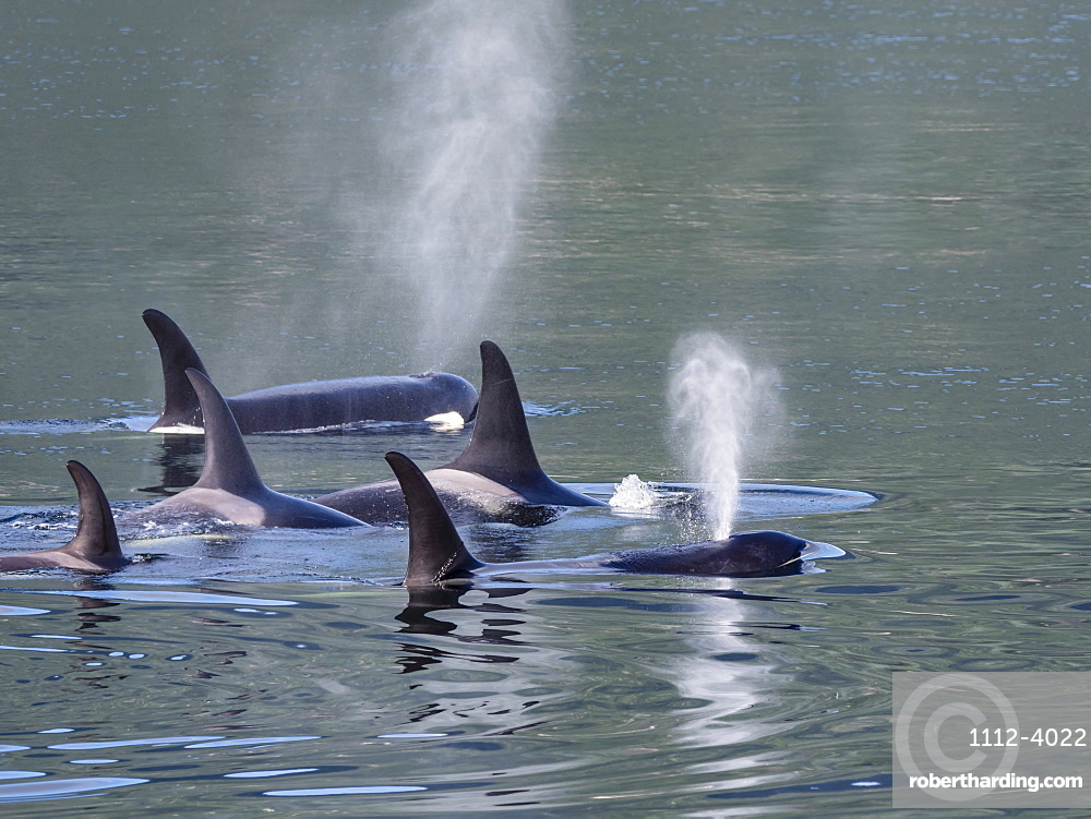 Resident killer whale pod, Orcinus orca, surfacing in Chatham Strait, Southeast Alaska, United States of America