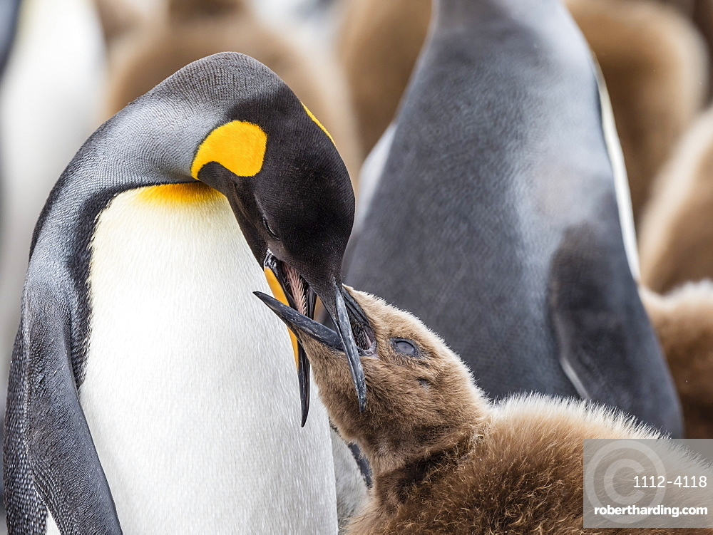 Adult king penguin, Aptenodytes patagonicus, feeding oakum boy chick at Salisbury Plains, South Georgia Island, Atlantic Ocean