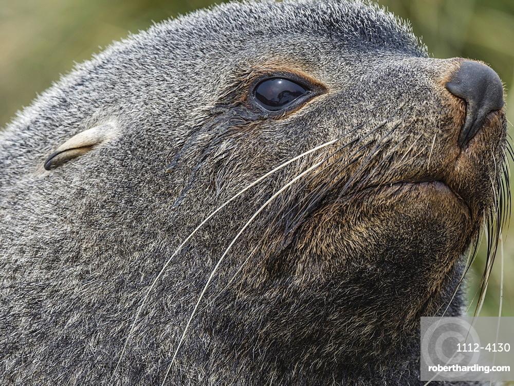 Adult bull Antarctic fur seal, Arctocephalus gazella, head detail at Ocean Harbour, South Georgia Island, Atlantic Ocean