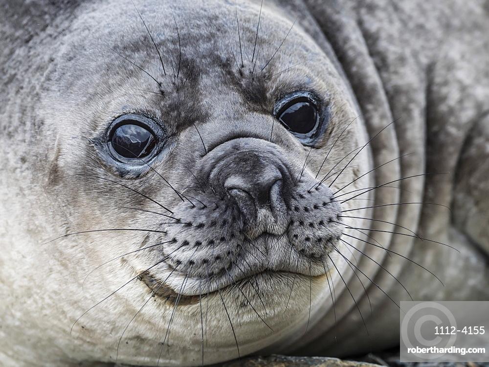 Curious southern elephant seal pup, Mirounga leonina, in Jason Harbour, South Georgia Island, Atlantic Ocean