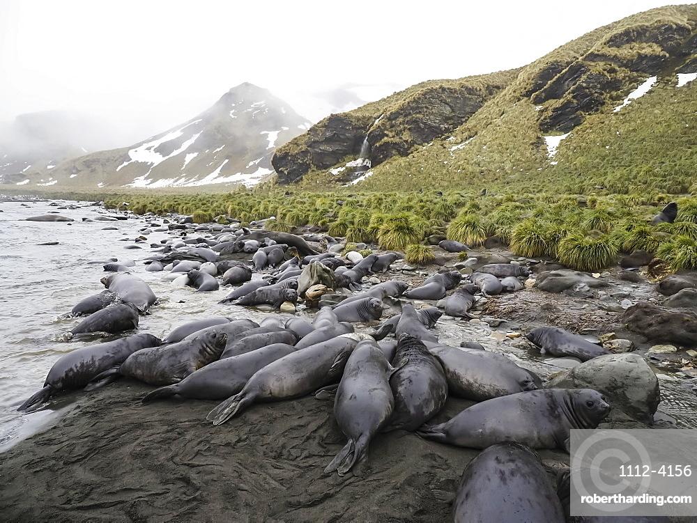 Southern elephant seal pups, Mirounga leonina, newborns and weaned, Jason Harbour, South Georgia Island, Atlantic Ocean