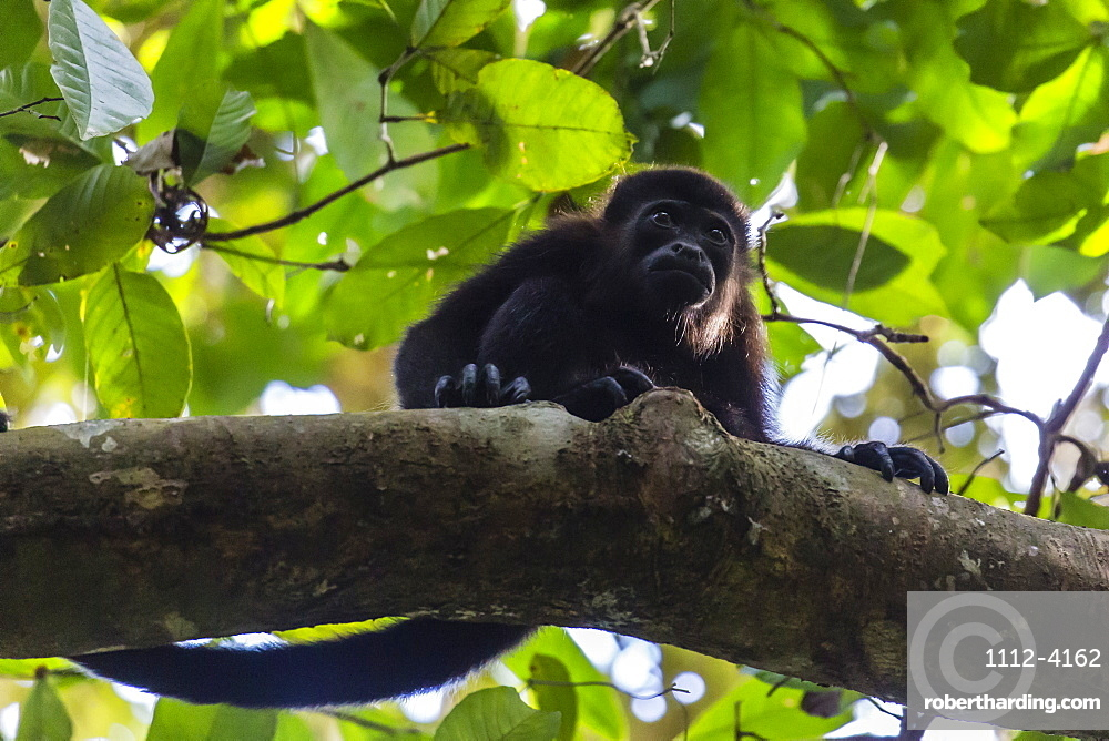 An adult mantled howler monkey, Alouatta palliata, in the forest of Caletas Reserve, Osa Peninsula, Costa Rica, Central America