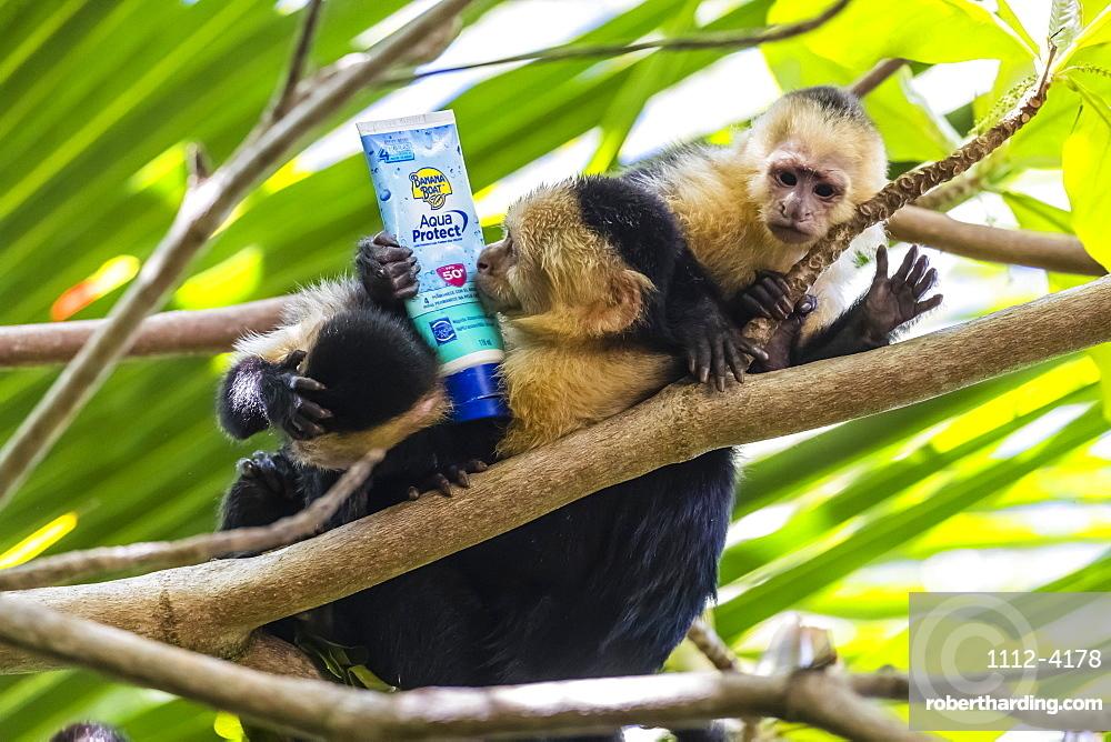Panamanian white-faced capuchins, Cebus imitator, with sunscreen, Manuel Antonio National Park, Costa Rica, Central America