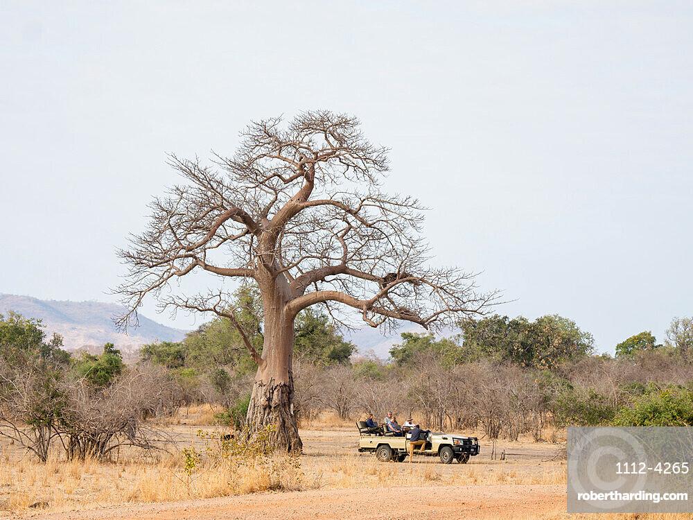 A very large baobab tree, Adansonia digitata, showing elephant foraging damage in South Luangwa National Park, Zambia.