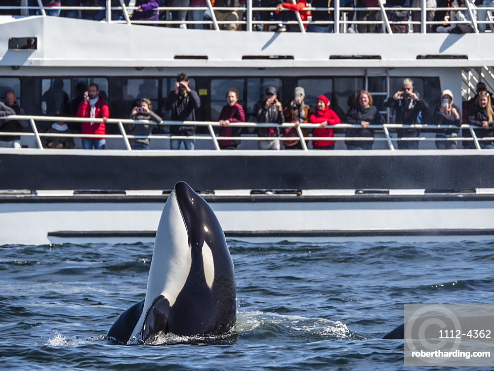 Transient type killer whale, Orcinus orca, spy-hopping near boat in Monterey Bay National Marine Sanctuary, California, USA.