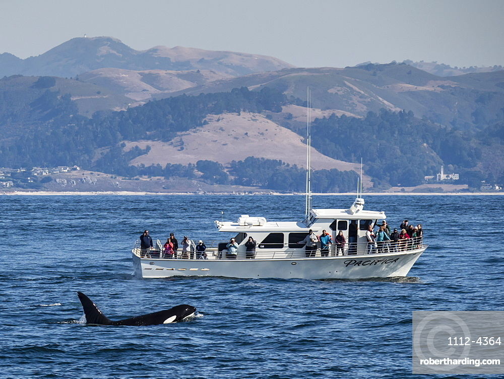 Transient type killer whale (Orcinus orca), surfacing near boat in Monterey Bay National Marine Sanctuary, California, United States of America, North America