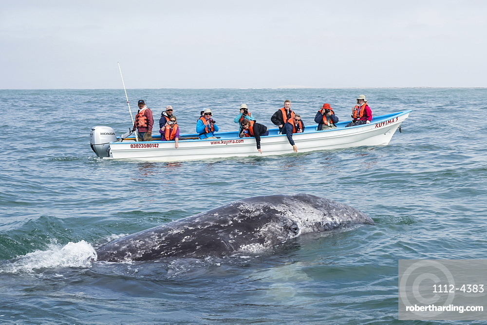 California gray whale calf, Eschrichtius robustus, with whale watchers in San Ignacio Lagoon, Baja California Sur, Mexico.