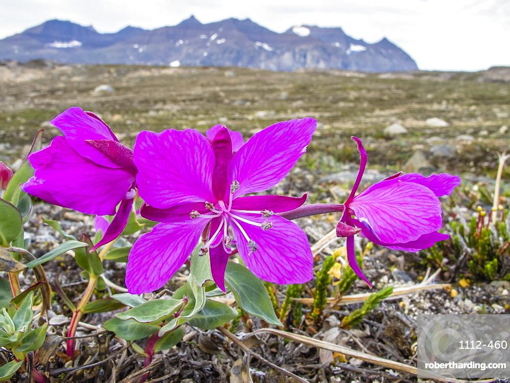 Dwarf fireweed (river beauty willowherb) (Chamerion latifolium), Heckla Haven, Northeast Greenland, Polar Regions