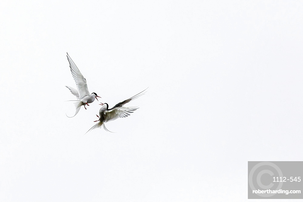 Adult arctic terns (Sterna paradisaea) in dispute on Flatey Island, Iceland, Polar Regions