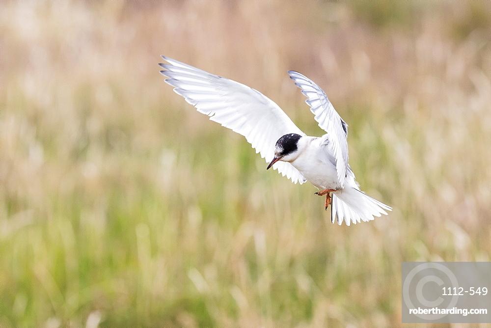 Arctic tern (Sterna paradisaea) chick in flight, Flatey Island, Iceland, Polar Regions