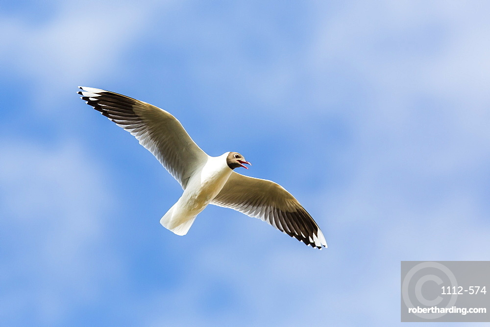 Adult brown-hooded gull (Larus maculipennis), Puerto Pyramides, Peninsula Valdes, Argentina, South America