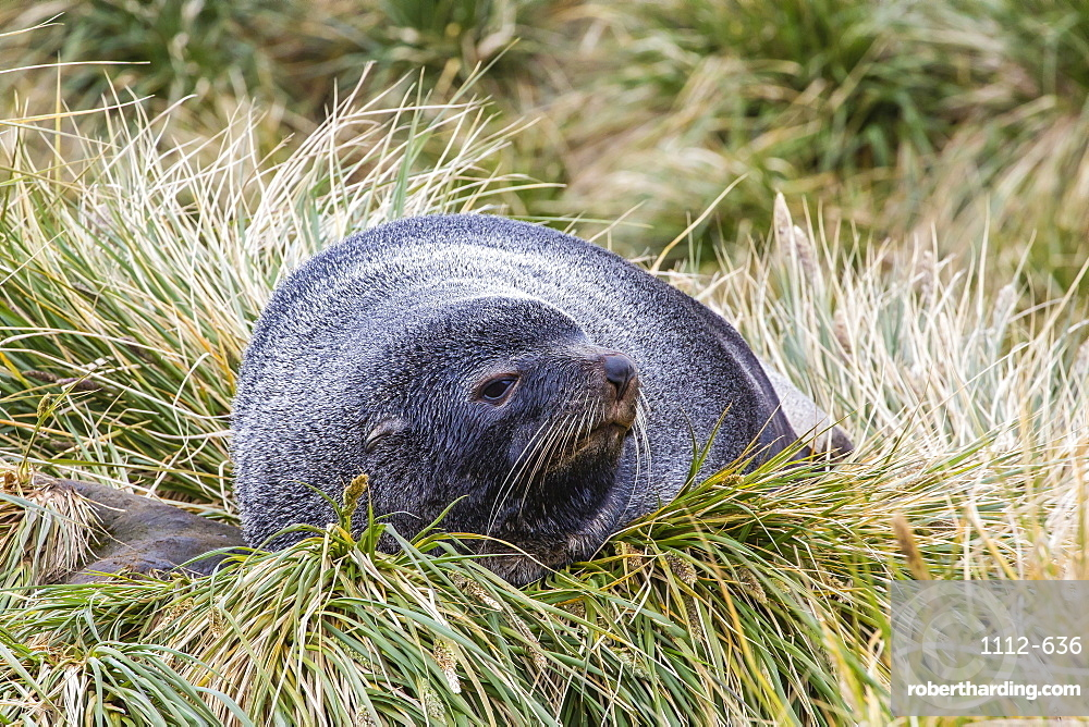 Antarctic fur seal (Arctocephalus gazella) in the tussac grass at Peggotty Bluff, South Georgia Island, South Atlantic Ocean, Polar Regions