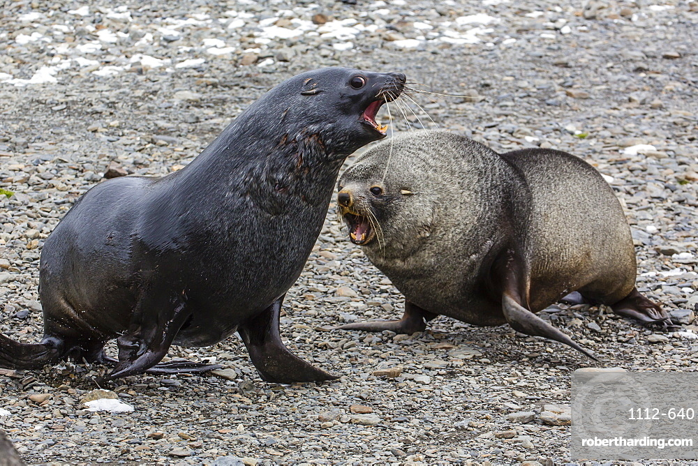 Antarctic fur seal (Arctocephalus gazella) bulls establishing mating territories at the abandoned Stromness Whaling Station, South Georgia Island, South Atlantic Ocean, Polar Regions