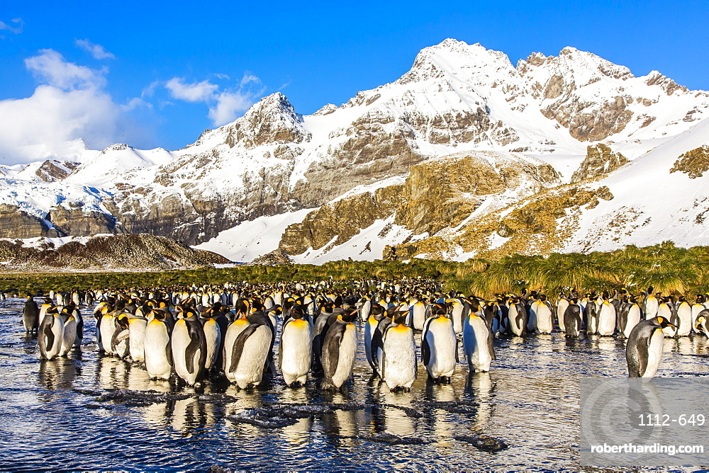 King penguins (Aptenodytes patagonicus), Peggoty Bluff, South Georgia Island, South Atlantic Ocean, Polar Regions