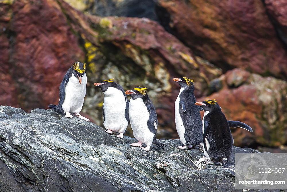 Adult macaroni penguins (Eudyptes chrysolophus), Cooper Bay, South Georgia Island, South Atlantic Ocean, Polar Regions