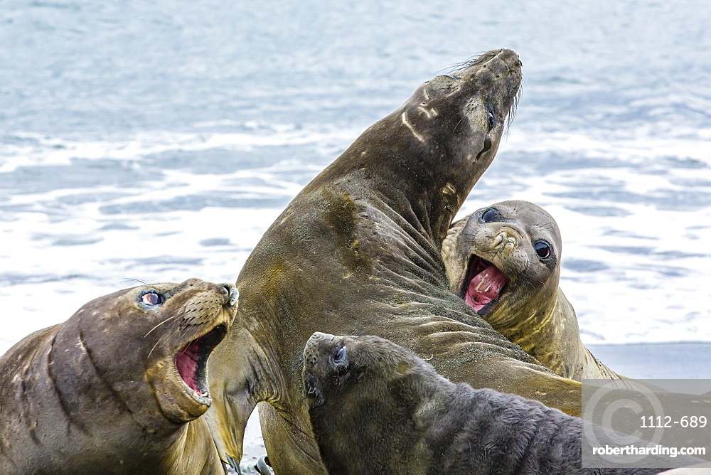 Southern elephant seals (Mirounga leonina), Peggotty Bluff, South Georgia, South Atlantic Ocean, Polar Regions