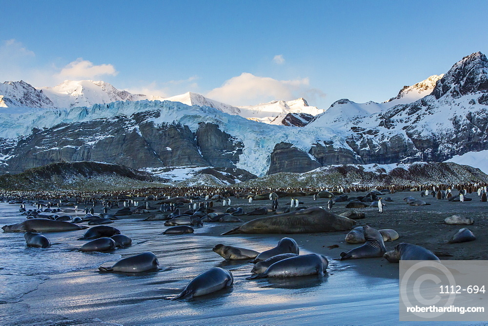 Southern elephant seal (Mirounga leonina) pups at sunrise, Gold Harbour, South Georgia, South Atlantic Ocean, Polar Regions