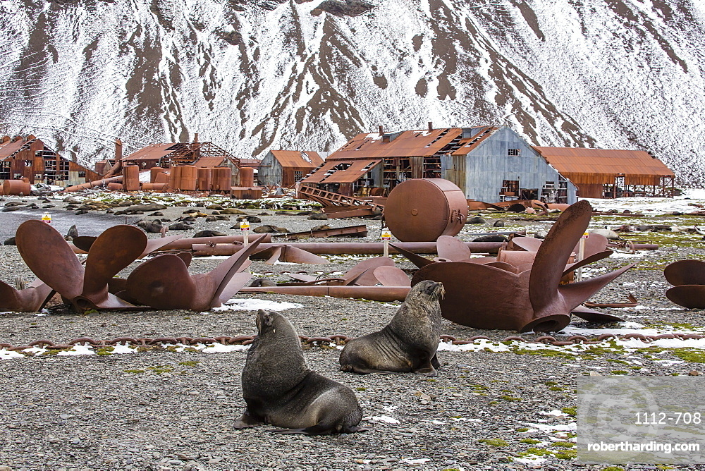 Antarctic fur seal (Arctocephalus gazella) amongst the remains of the abandoned Stromness Whaling Station, South Georgia Island, South Atlantic Ocean, Polar Regions