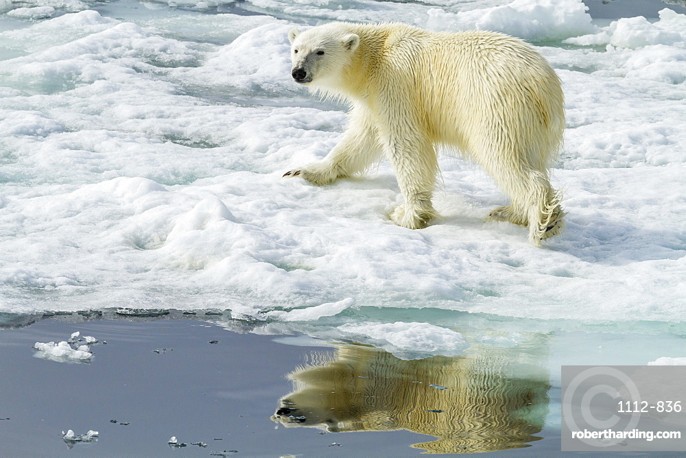 Adult polar bear (Ursus maritimus) on the ice in Bear Sound, Spitsbergen Island, Svalbard, Norway, Scandinavia, Europe