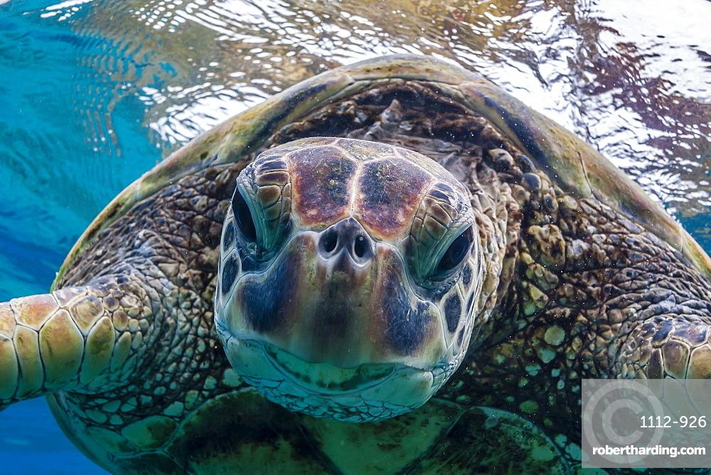 Green sea turtle (Chelonia mydas) underwater, Maui, Hawaii, United States of America, Pacific