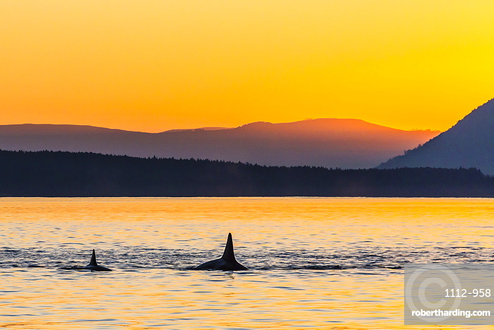 Transient killer whales (Orcinus orca) surfacing at sunset, Haro Strait, Saturna Island, British Columbia, Canada, North America
