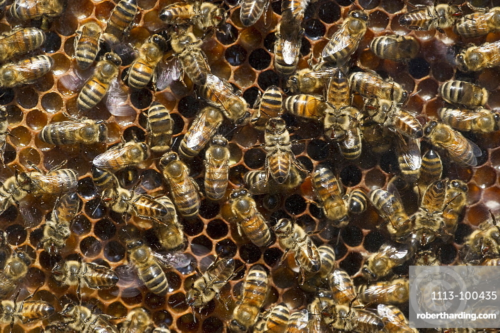 Bees on honeycombs, Freiburg im Breisgau, Baden-Wuerttemberg, Germany