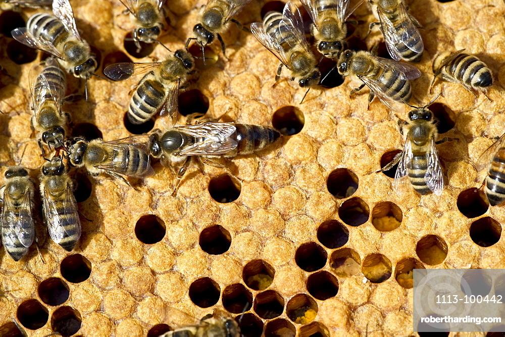 Queen bee and bees on honeycombs, Freiburg im Breisgau, Baden-Wuerttemberg, Germany