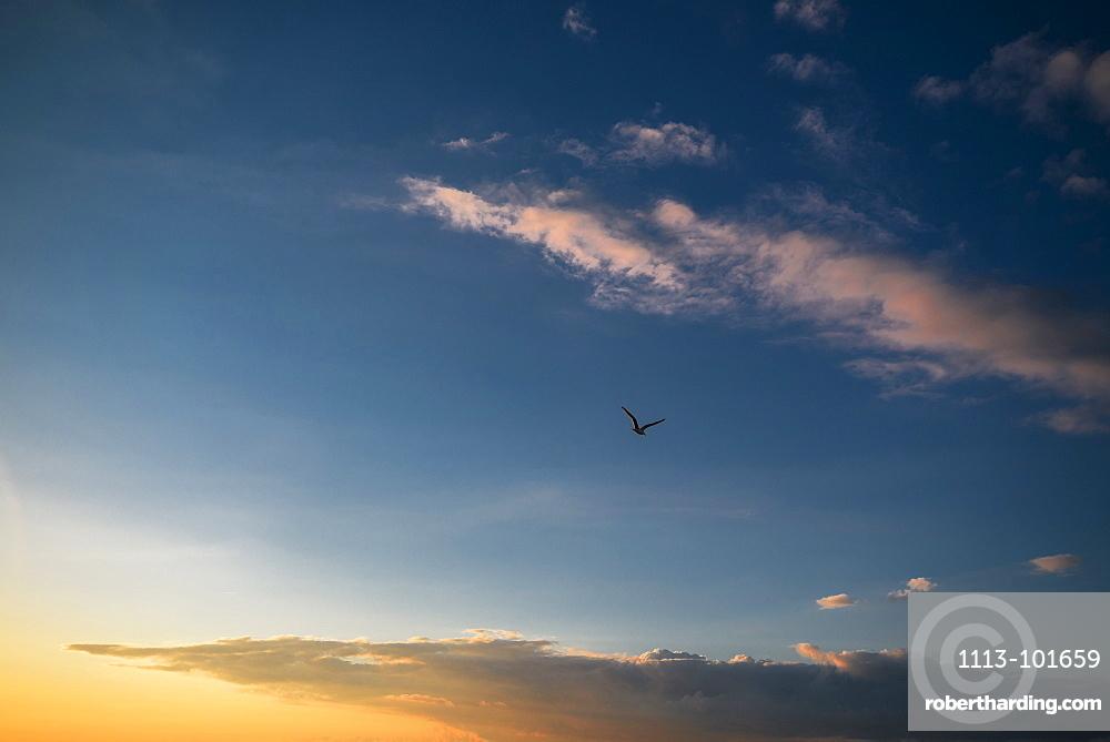 Gull in the evening sky at a Baltic sea beach, Dierhagen, Fischland-Darss-Zingst, Mecklenburg Vorpommern, Germany