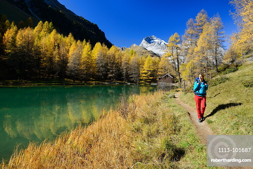 Woman hiking along the shore of lake Palpuogna (1918 m) with Golden larches and Piz Ela (3180 m), Grisons, Switzerland