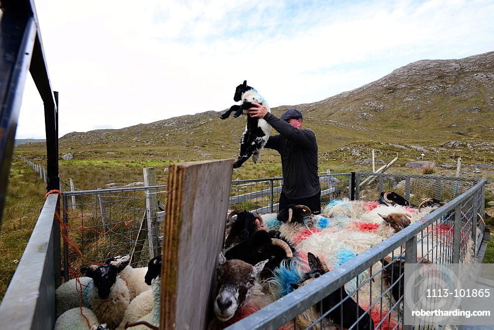 Sheep herder with sheep on road 336 in Connemara, Ireland