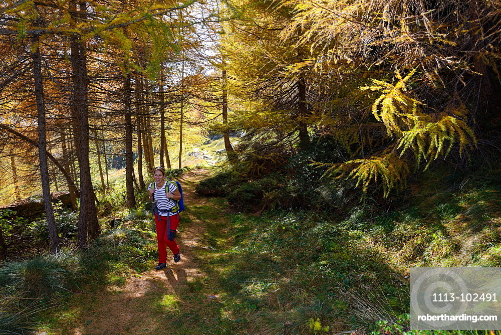 Woman hiking above Lake Sils through a colourful larch forest, Engadin, Grisons, Switzerland