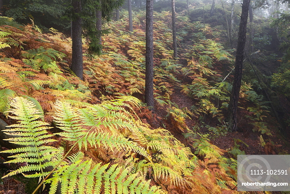 Natural forest with a carpet of ferns in the Saxon Switzerland National Park in autumn, Saxony, Germany
