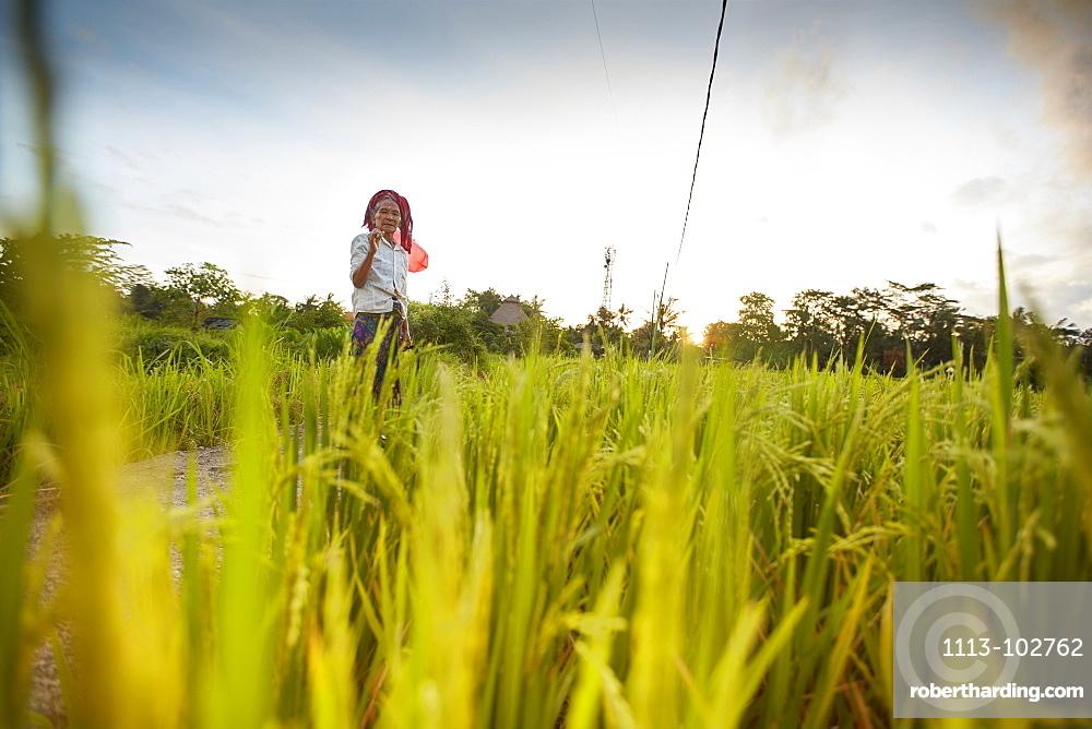 Rice paddy, rice field Penestanan, Bali, Indonesia