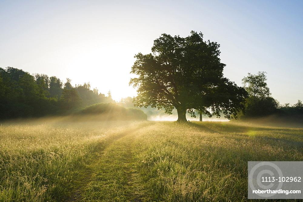 Oak tree at sunrise, Seeon-Seebruck, Chiemgau, Upper Bavaria, Bavaria, Germany