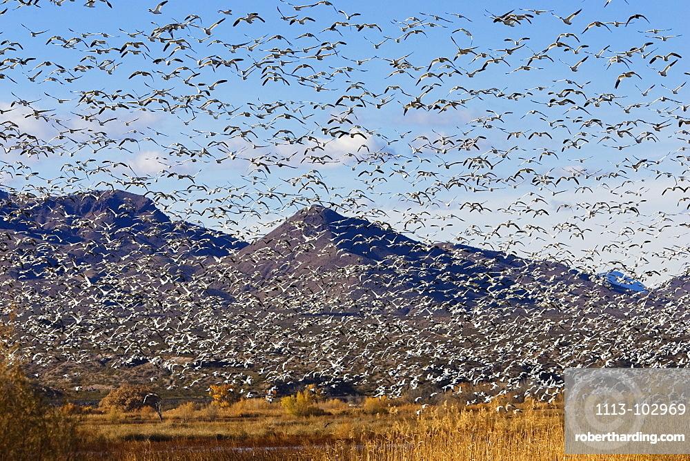 Snow Geese wintering in Bosque del Apache, Anser caerulescens atlanticus, Chen caerulescens, New Mexico, USA