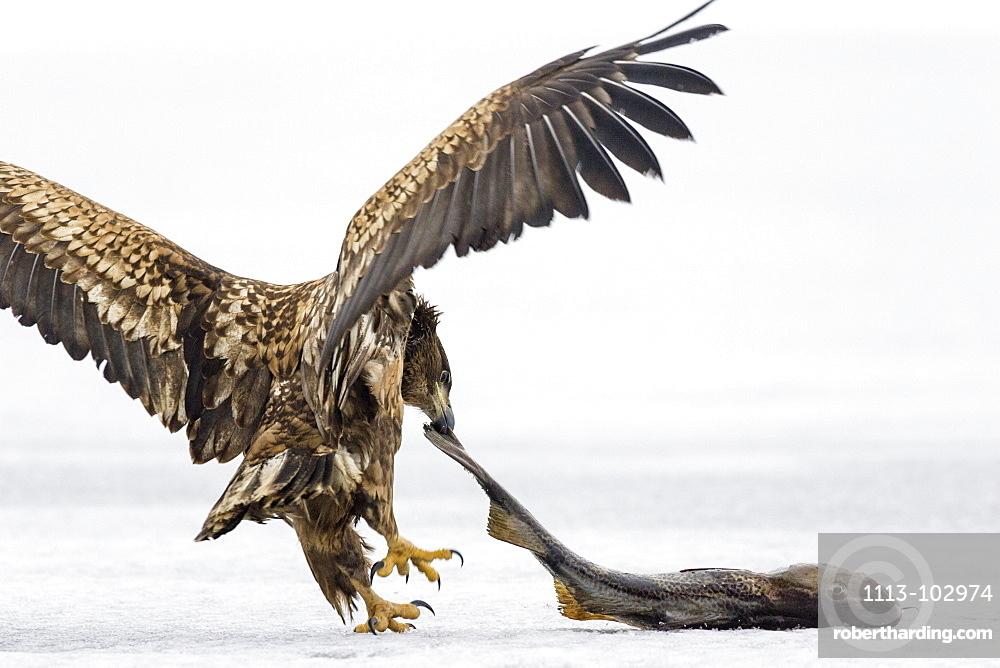 Immature White-tailed Eagle wiith prey, Haliaeetus albicilla, Germany, Europe