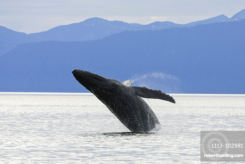 Humpback Whale breaching, Megaptera novaeangliae, Alaska's Inside Passage, USA