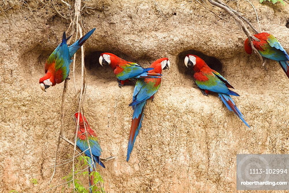 Red-and-green Macaws at saltlick, Ara chloroptera, Tambopata National Reserve, Peru, South America