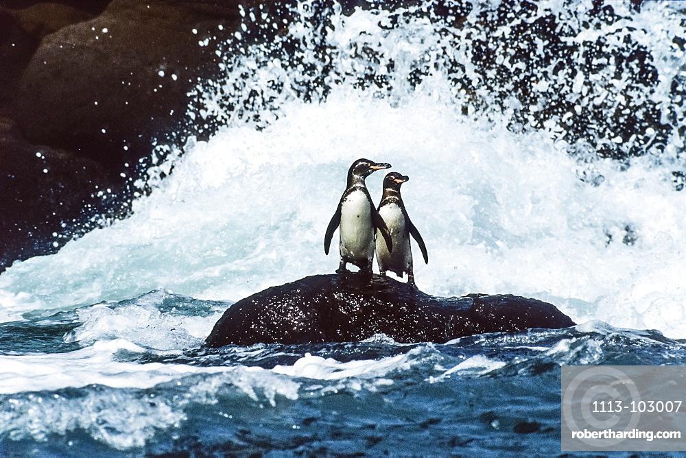Galapagos Penguins in the surf, Spheniscus mendiculus, Galapagos Islands, Ecuador