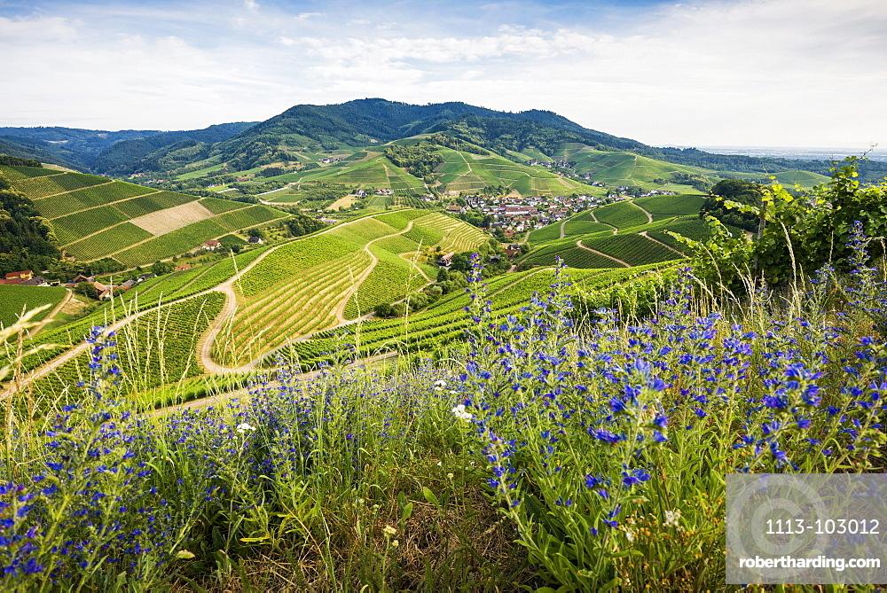 Vineyards, Durbach, Ortenau, Black Forest, Baden-Wuerttemberg, Germany