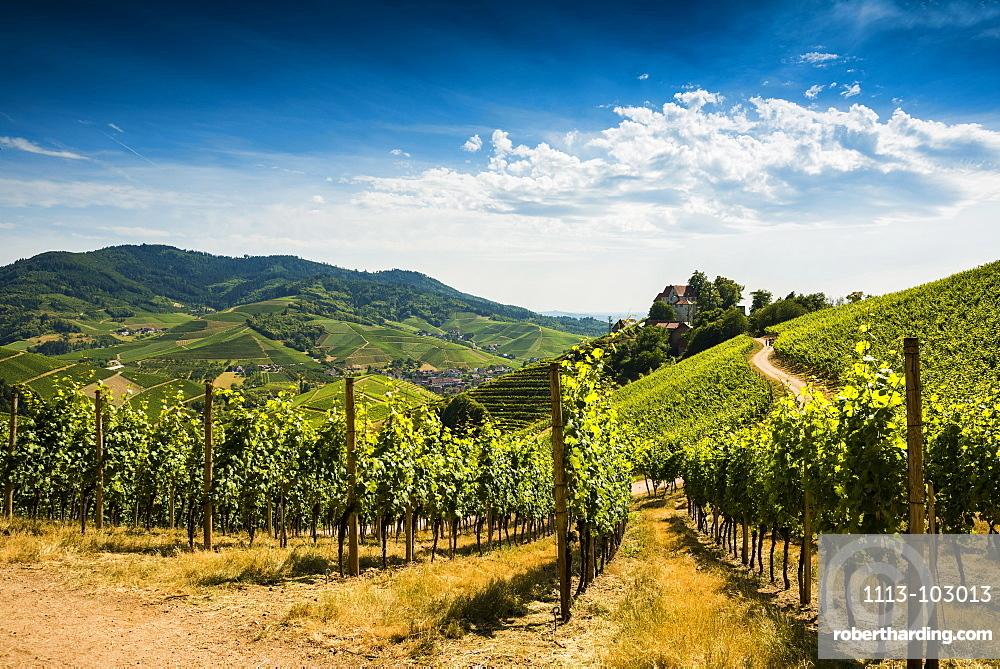 Vineyards at Staufenberg Castle, Durbach, Ortenau, Black Forest, Baden-Wuerttemberg, Germany