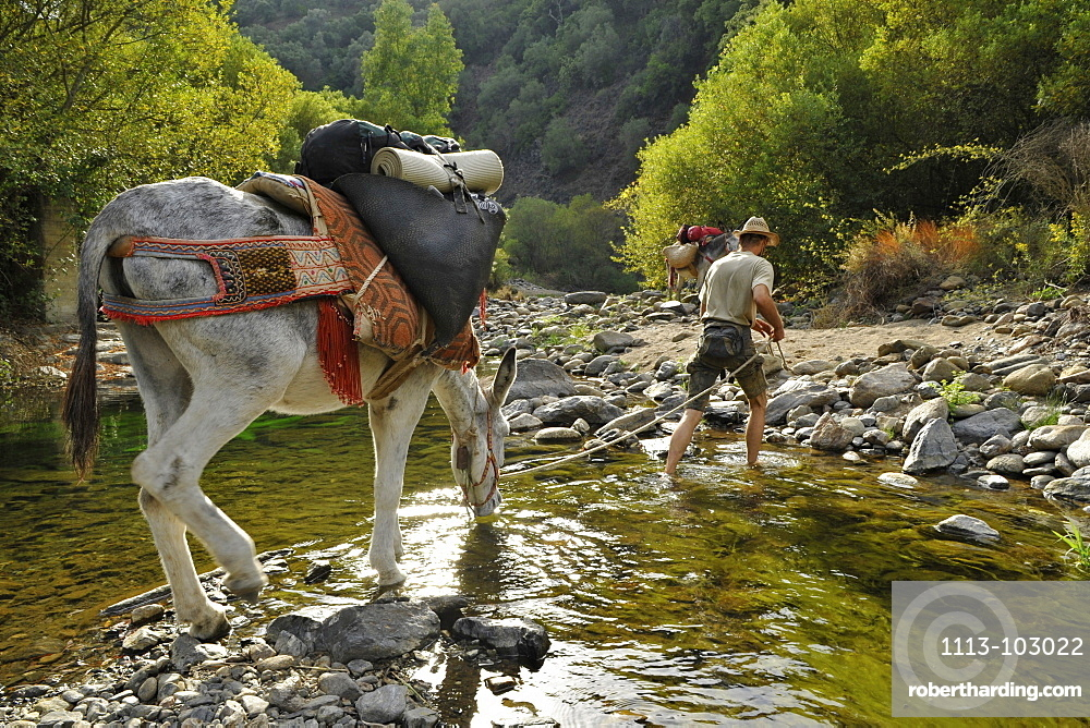 Man walking with donkey through a creek while the donkey is drinking, man with his two Andalusian donkeys in the Serrania de Ronda, Andalusia, Spain