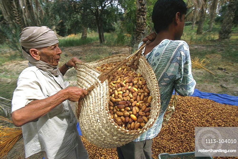 Two locals harvesting dates, Tozeur, Tunesia