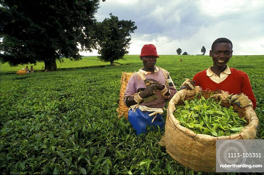 Tea pickers on a tea plantation harvesting tea, Limuru near Nairobi, Kenya, Africa