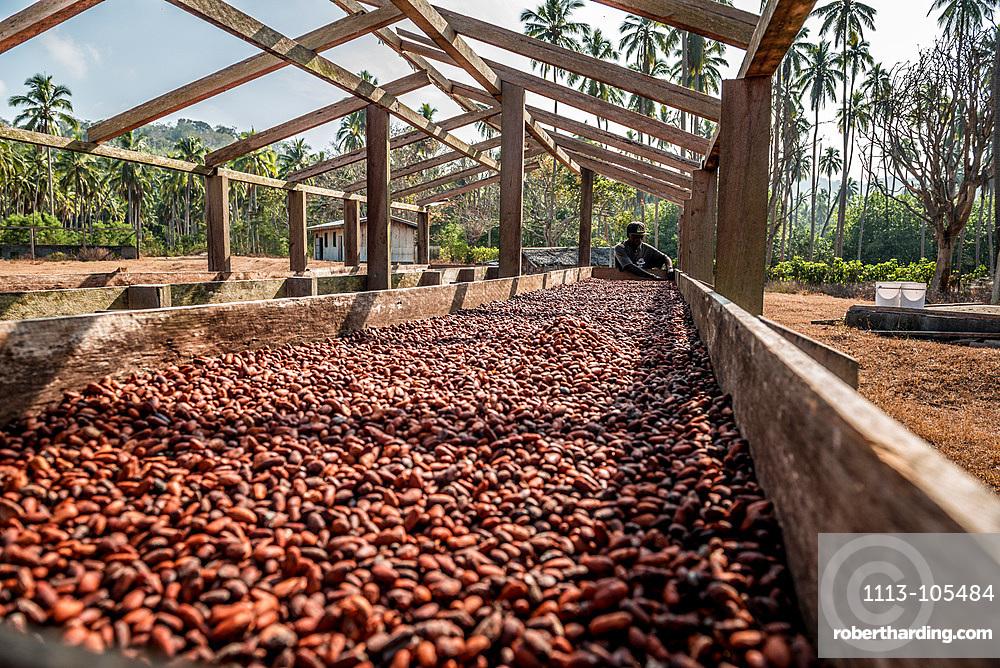 Drying cocoa beans, Malekula, Vanuatu, South Pacific, Oceania